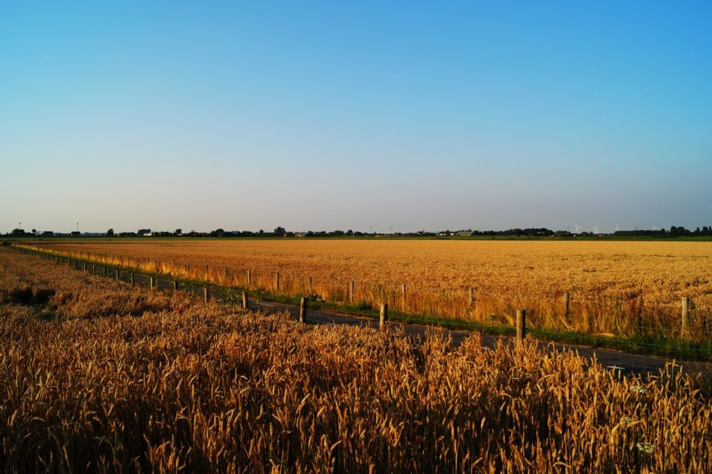 Country road inbetween two wheat fields